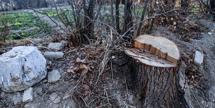 قاچاق چوب در بوشهر/ قطع درختان به بهانه هرس!