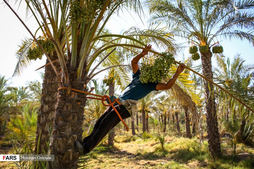 آرایش درختان خرما در بوشهر