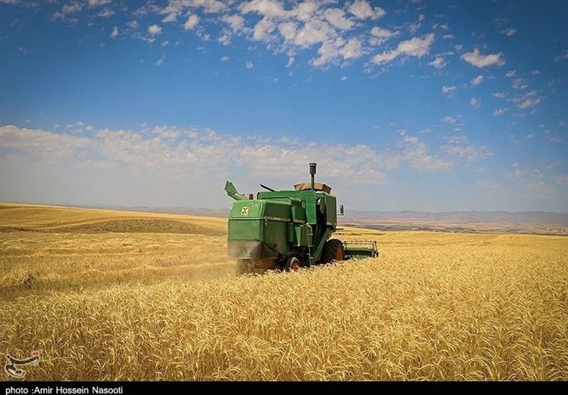 برداشت گندم در اراضی استان بوشهر ۴۰درصد کاهش یافت